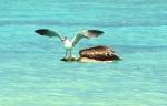 PelicanandSeagull