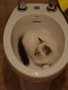 When Coco was small she loved drinking from the bidet.